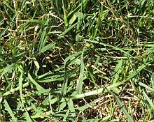 bermuda grass in lawn