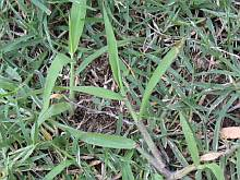bermuda grass and crabgrass