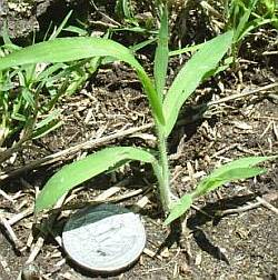 Crab grass seedling