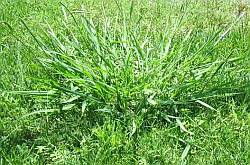 Crab grass clump in lawn