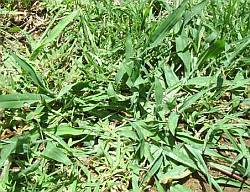 New crab grass in lawn
