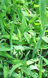 crabgrass killer for St Augustine grass
