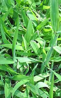 crabgrass killer for St Augustine grass