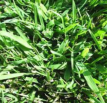 crabgrass blends in with lawn