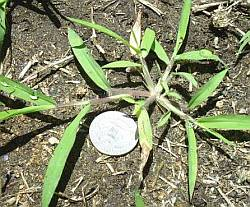 Crabgrass small plant
