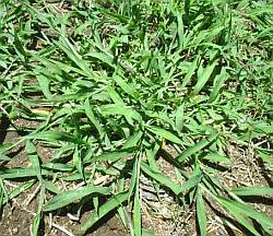 large crabgrass spreading