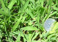 crabgrass sprouts in lawn