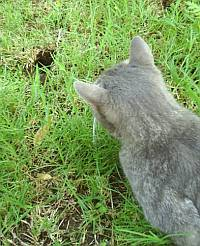 cat waits for gopher