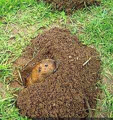 This Gopher Has Created A Mound Of Dirt In The Clic Shape For Pocket He Pushed Out Exit Tunnel So That It Surrounds About