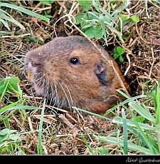 What Does A Gopher Look Like