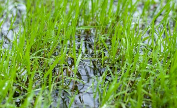 over water grass seed