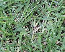 Bermuda Grass Pictures Photos For Identification And