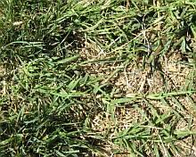 bermuda grass invading lawn