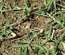 bermuda grass runners