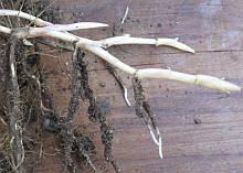 bermuda grass rhizomes