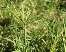 bermuda grass seed stalk