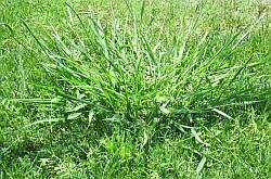 crabgrass clump in lawn