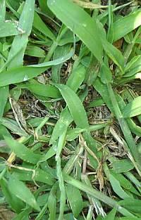 crabgrass killer St Augustine