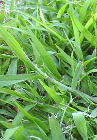 crabgrass killer St Augustine