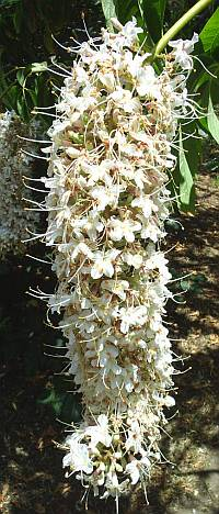 California Buckeye flower